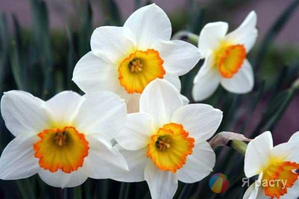 Нарциссы из бумаги. Поделки к 8 марта