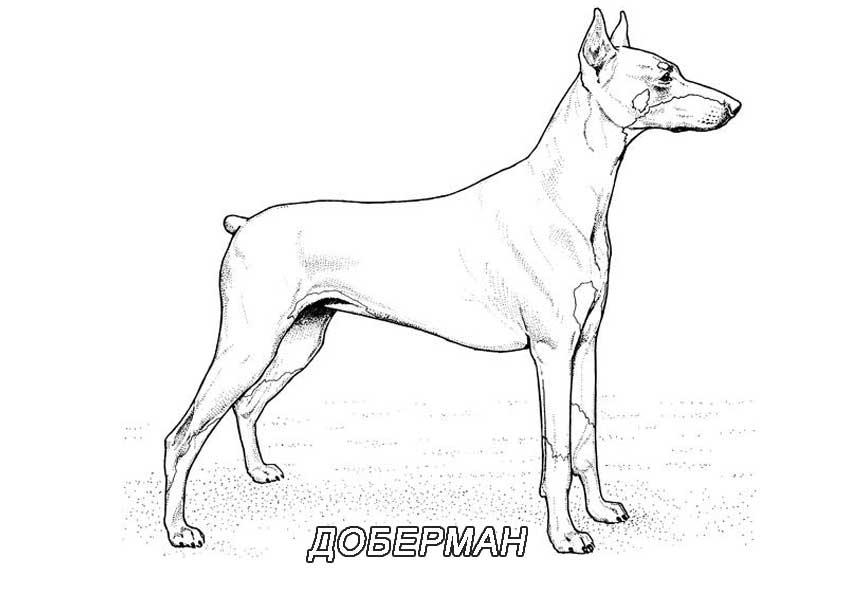 Все породы собак раскраски