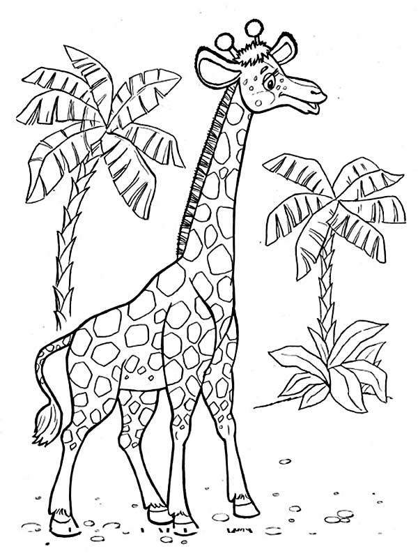 Жирафы на фотографии картинки и рисунки с жирафами