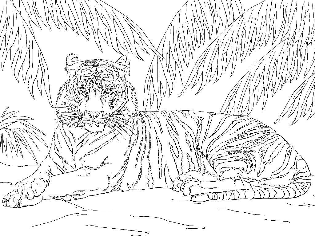 Раскраска тигр - 1