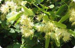 Липа является деревом относящаяся к широколиственной породе