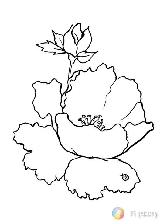 цветы. картинка для раскрашивания. мак