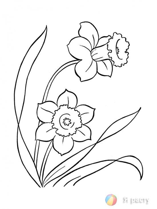 цветы. картинка для раскрашивания. нарцисс