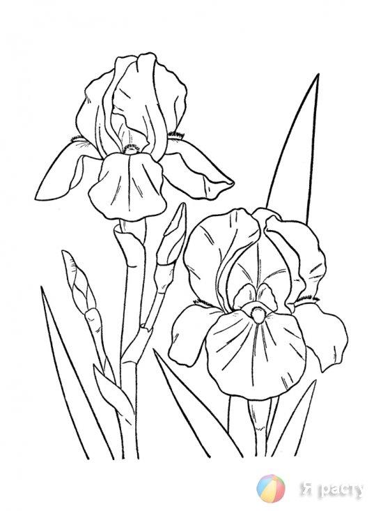 цветы. картинка для раскрашивания. ирис