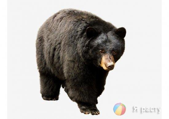 Барибал – черный медведь
